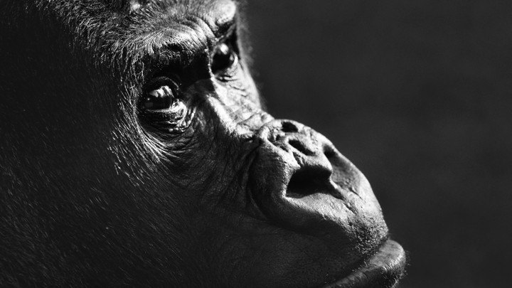 Gorilla close-up in zoo. (Photo by: Arterra/Universal Images Group via Getty Images)